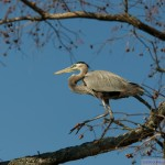 Blue Herron in cypress tree